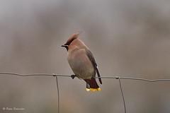 Bohemian waxwing (Petra S photography) Tags: bohemianwaxwing seidenschwanz brandenburgcounty brandenburg germany bird winter