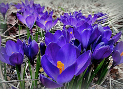 Krokusse (karin_b1966) Tags: blumen flowers blüten blossoms pflanzen plants natur nature badsoodenallendorf krokusse yourbestoftoday