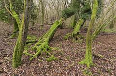 Laid back (Through Bri`s Lens) Tags: sussexdowns ashurst washington spithandlelane forest woods trees moss leaves brianspicer canon5dmk3 canon1635f4 leepolariser