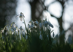 Calm before the storm (V Photography and Art) Tags: snowdrops february sunshine light flowers trees pointofview