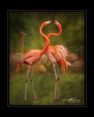 Flagrantly Flamingo (Visions by Vincent) Tags: flamingo fantasticnature florida zoo birds creative sarasota