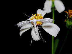 Pterophorus lacteipennis, Pterophoridae (Green Baron Pro) Tags: pterophoridae 202002 singapore moth tengah white hirez