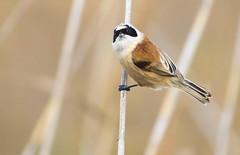 Penduline tit / pajaro moscón (jjulio2311) Tags: remiz bird pajaro nature animal wild orange coth5