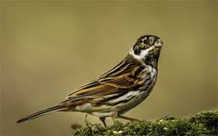 Reed Bunting (Tony Smith Photo's) Tags: bird birds black branch brown closeup color feathers feeding grey natural nature perched plant reed songbird tree wild wildlife adult animal background beauty birdwatching bunting buntings colorful common day emberiza europe european food light male one ornithology outdoor passerine perching photography plumage polder portrait reedbunting schoeniclus singing single sitting wallpaper wetland winter lynfordarboretum norfolk