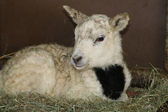 New  Life 1  Day  Old ,  Born 4-2-2020 (excellentzebu1050) Tags: newlife newborn livestock lamb indoors birth born farm dairyfarm animal closeup coth5