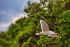 il Grande Gabbiano Jonathan Livingston - the Great Seagull Jonathan Livingston (Eugenio GV Costa) Tags: approvato jonathanlivingston jonathan animal animali animals seagull gabbiano outside