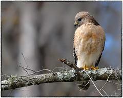 Red shouldered hawk (RKop) Tags: florida lakeoland redshoulderedhawk raphaelkopanphotography nikon nature d500 600mmf4evr