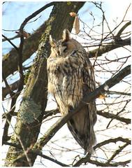 Waldohr-Eule owl - #002 behind supermarket PENNY in Tübingen (eagle1effi) Tags: preset 8fps plus bbf back button focus with ai servo waldohreule tuebingen wanne nordstadt 7d longearedowl 2020 canoneos7d eos7d dslr eagle1effi canon7dmarki canon7d canon