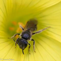 No amarelo | In the yellow (Fernando Delgado) Tags: imsects insecto arthropoda artrópodes arthropods artrópode nature natureza naturephotographer art fineart macro macrophoto macrodreams macroscape