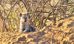 Hyena pup in South Africa (` Toshio ') Tags: toshio hyena pup animal mammal safari southafrica africa mound nature wildlife wildlifephotography canon7d canon 7d tree