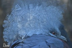 i m Blue (Daantje1704) Tags: animal pigeon bluecrownedpigeon blue bird feathers nikon zoo blijdorp aves kroonduif blauw nature thecrown