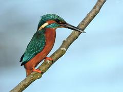 Kingfisher. (noelbarke) Tags: bird kingfisher alcedo atthis male orange electric blue all black bill