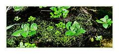 Greens in the Narrows (Karen McQuilkin) Tags: greensinthenarrows zion creek life spring water