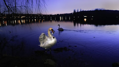 Swan Lake (Nathalie_Désirée) Tags: swan bird beauty beautiful life alive animal evening serenade dusk bluehour romantic lovely love happiness sweet cute atmosphere atmospheric mood moody water waterscape reflection feather wing sonyαmo sonyalpha7rii sony28mmf20 nice darkness enjoy contemplation balance relax lake stuttgart maxeythsee color colors colorful emotion city border stone nature outdoors neckar badenwürttemberg badenwuerttemberg europe germany tree trees flora fauna everyday simplyperfect leaf leafs move movement swanlake elegance art elegant winged wonderful amazing sunset light citylight shine