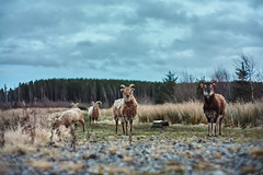 Mountain Sheep (Lens addiction is a disease . . .and eBay is the c) Tags: 7artisans35mmf12 fujifilm fujixa10 animals england nature widlife goats sheep