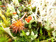 kiss? (chaerea) Tags: bc canada forest forestfloor nature woodland lichen cladonia fungi mycology algae apothecia