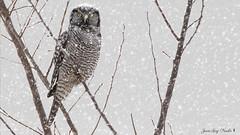 Chouette épervière:  ( Northern Hawk Owl ) (jean-guy Proulx) Tags: chouetteépervière northernhawkowl oiseaux birds coth5 nature animals jeanguyproulx canoneos80d animal