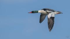 Common Merganser 8329 (Paul McGoveran) Tags: bif bird birdinflight commonmerganser duck lakeerie nature nikon500mmf4 nikond850 norfolkcounty portdover wings