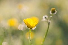 Morning Delight (Ela Di) Tags: buttercup yellow sunlight goldenhour dew delicate bokeh sparkles fragility morning meadow awakening springtime selectivefocus macrophotography proximity