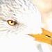 039/366 Ring-billed Gull - Larus delawarensis, Chincoteague National Wildlife Refuge, Chincoteague, Virginia