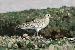 K32P7089c Curlew, Titchwell Beach,September 2019 (bobchappell55) Tags: norfolk numeniusarquata titchwell beach bird curlew nature wader wild wildlife