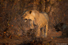 In the 'spotlight' (leendert3) Tags: leonmolenaar southafrica krugernationalpark wildlife wilderness wildanimal nature naturereserve naturalhabitat mammal lioness naturethroughthelens