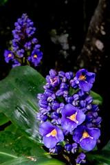 In the Rain and Gloom (armct) Tags: dichorisandrathyrsiflora garden flower bloom gloom shade rain raindrops understorey ginger blue gold dof domestic goldcoast queensland display hinterland subtropical americas