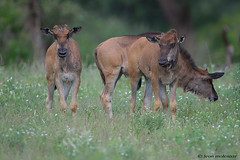 Three is a crowd (leendert3) Tags: leonmolenaar southafrica krugernationalpark wildlife wilderness wildanimal nature naturereserve naturalhabitat mammals bluewildebeest