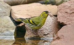 Siskin  (Explored) (Bogger4.) Tags: siskin pool water drinking woodedarea