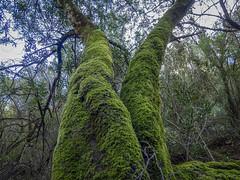 HUMEDAD (BLAMANTI) Tags: arboles humedad humedo humeda humedales rios riomajaceite verde blamanti olympus olympusomd
