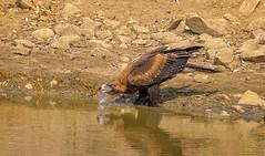 40.5°C,  alice river - juvenile wedgetail eagle #2 (Fat Burns ☮) Tags: wedgetailedeagle aquilaaudax bird australianbird fauna australianfauna wildlife australianwildlife nikond500 nikon20005000mmf56vr aliceriver barcaldine queensland australia hawk raptor eaglehawk eagle
