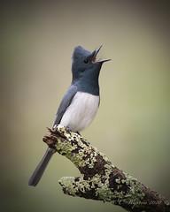 Leaden Flycatcher (Male) (Chris.Kookaburra) Tags: myiagrarubeculai dsc8356 leaden flycatcher leadenflycatcher bird birds avian ornithology birdwatching