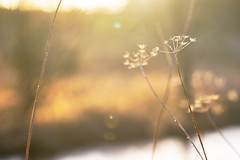 New day (tonguedevil) Tags: outdoor outside countryside nature umbellifers bokeh pond field morning light shadows colour sunlight