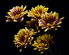 Cluster of Yellow-Purple Mums 1025 (Tjerger) Tags: nature color beautiful beauty black blackbackground bloom blooming blooms bunch closeup cluster colorful fall flora floral flower flowers green group macro mum plant portrait purple white wisconsin yellow mums natural puirple