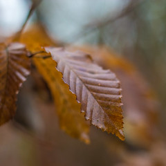 Golden (1 of 3) (Patricia Wilden) Tags: landscape morning eos70d southnorfolk leaves shallowdof dof focus plant nature detail squarecrop