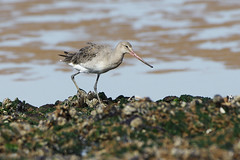 K32P6283c Bar-tailed Godwit, Titchwell Beach,September 2019 (bobchappell55) Tags: limosalapponica norfolk titchwell bartailed beach bird godwit nature wader wild wildlife