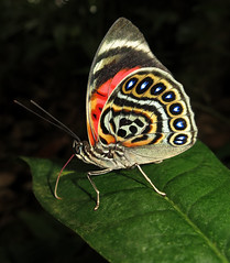 Prepona claudina (Over 6 million views!) Tags: butterfly ecuador nymphalidae preponaclaudina insect butterflies