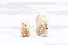 Tundra Walker (Nedko Nedkov) Tags: polarbear tundra ice snow mum cub cuboftheyear canada churchill wildlife animal mammal predator