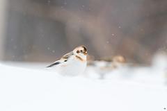 ''Boule de plume!'' Plectrophane des neiges-Snow bunting (pascaleforest) Tags: oiseau bird animal passion nikon nature wild wildlife faune québec canada snow neige