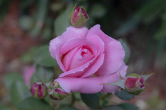 Rose, Melbourne. (petebond_au) Tags: flowers buds fl6 rose flower angiosperm canon eos r lensbaby 56mm