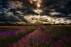 Dans la magie de la Provence - Im Zauber der Provence (TS Lichtreise) Tags: lavendel lavender lavande wolken clouds himmel sky drama drame outside sunset nature natur night licht light landscape