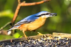 IMG_4912 (richardbrunton) Tags: nuthatch bird seed feeder blue orange eating seeds sunflower sculthorpe moor