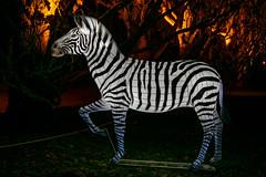 Zebra (Franju168) Tags: lichterwelten rostock zoo zoolights zebra deutschland mecklenburgvorpommern