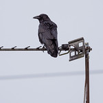 Raven on an aerial