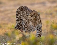 Late Day Walk (Greg Taylor Photography) Tags: leopard masaimara africa kenya savanna wildlife wildlifephotography