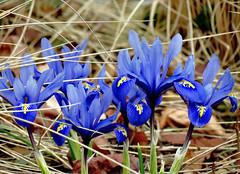 schönen Sonntag !!! (karin_b1966) Tags: blume flower blüte blossom pflanze plant natur nature badsoodenallendorf zwergirisreticulata yourbestoftoday