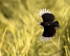 Pico de Plata . Esta foto me gusta porque se ve claramente el contraste de las plumas blancas con las del negro intenso. (Jose Lozada Naturaleza (Argentina)) Tags: hashtagfliker ave afona avesargentinas wildlifeargentina naturalezaargentina beautifulbirds bird passaro pájaro nature wildlife bestwildlife argentina cordoba córdoba sierrasdecordoba art natureart arte naturaleza wildbirds animales arteargentina patagonia misiones nikon d500 nikkor200500 josélozadanaturaleza josélozada joselozada sudamérica avesdesudamerica fotógrafos fotógrafosargentinos birdofinstagram instagram facebook avesdeargentina greatbirds wildshots fotógrafosdecordoba paint naturepaint bestshots flickrbirds avesdesudamérica instabirds artbird bestbirds naturephotoa naturephotograph bestphotos