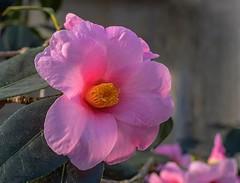 Kamelie (to.wi) Tags: towi wilhelma stuttgart kamelie blume flower