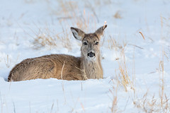 February 8, 2020 - A white-tailed deer doe in the fresh snow. (Tony's Takes)