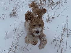 February 7, 2020 - This goldendoodle loves the snow. (Heidi Armstrong Khoury)